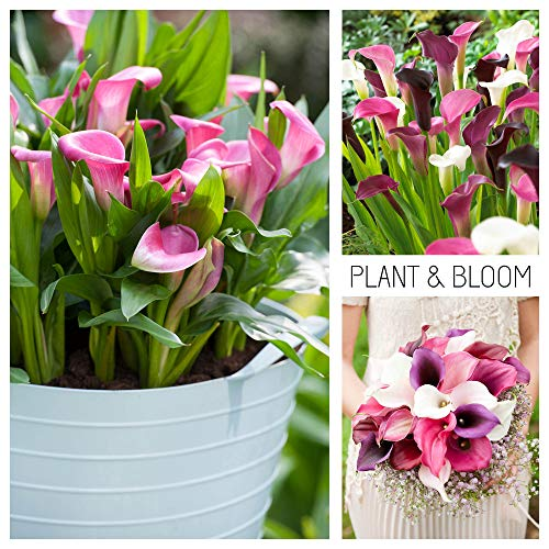 Plant & Bloom Calla Lily Flower Bulbs from Holland, 3 bulbs - Easy to Grow Arum Lilies For Planting in Your Garden - Top Dutch Grown Zantedeschia - White Pink Purple Blooms - Pink Profusion Collection