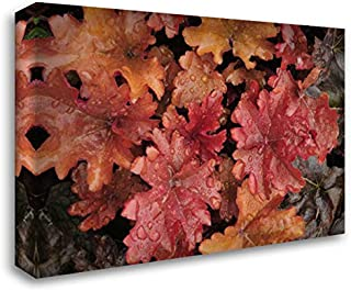 OR, Portland Foliage of Peach Flambe heuchera 40x28 Gallery Wrapped Stretched Canvas Art by Terrill, Steve