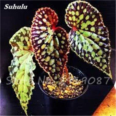 Janpanse Bonsai coleus Graines 50 Pcs Plantes feuillage couleur parfait arc Graines Belle Mixed Flower Garden plante Sement 10