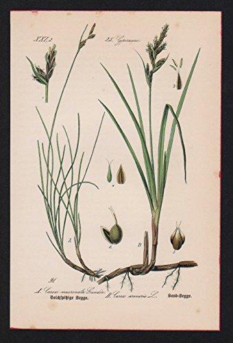 Sand-Segge Seggen Carex Lithographie Kräuter Heilkräuter herbs herbal