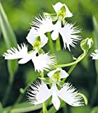 Cioler Seed House - Graines de fleurs d'oiseaux blanches japonaises'Habenaria Radiata' Orchidée Graines de fleurs rares Graines d'ornement Vivaces Vivaces pour jardin Balcon/patio