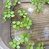 12 Water Spangles (Salvinia Minima), NO Snail - Live Aquarium/Aquatic Floating Plant by Aqua L'amour