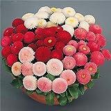 Shopvise Daisy Hardy Flower Seeds 100 piezas