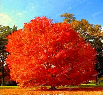 Nuove Rare Red Oak Tree 10+ Seeds - Quercus rubra