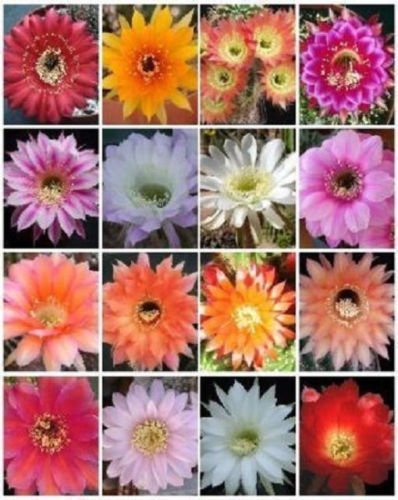 ECHINOPSIS varietà mix ibrido esotico fioritura cactus sementi Shick 50 SEMI