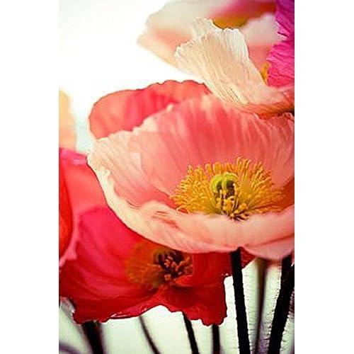 10,000 Shirley Single Petal Poppy Seeds FLOWER SEEDS