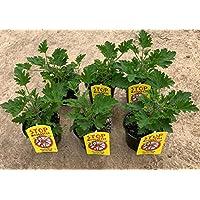 Planta Antimosquitos-Citronella- Geranio (Pelargonium Graveolens)-Planta Aromática-Planta Natural-Pack 6 PLANTA 13 cmø - Vipar Garden 7
