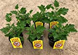 Planta Antimosquitos-Citronella-Pack 6 Plantas - Geranio (Pelargonium Graveolens)-Planta Aromática-Planta Natural- 13 cmø - Vipar Garden 7
