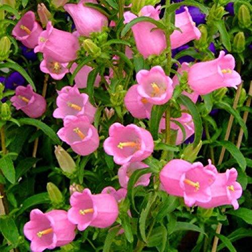 XINDUO Blumensamen winterhart mehrjährig,Begrünung Campanula Samen-Pink_0.25kg,Blumensamen für Garten Balkon