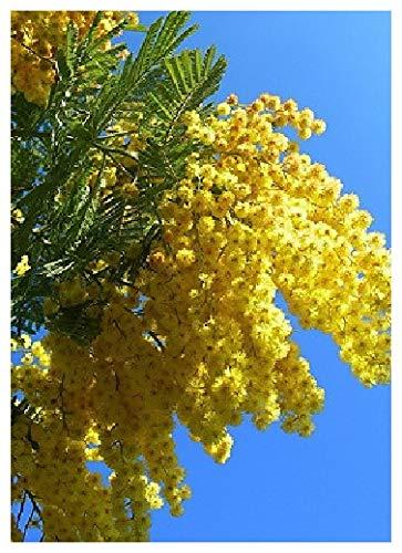 TROPICA - Arbre mimosa/Acacia argenté (Acacia dealbata) - 25 graines- Australie