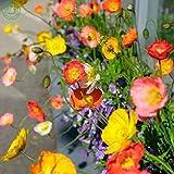 Nuovo di zecca! Semi di fiori di papavero Islanda Mix Rosa Giallo crema all'arancia rosa bianca e bicolors decorazione del giardino di piante libere 200 pezzi semi di speranza