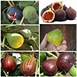 Higuera - 3 Variedades 25 + 25 + 25 semillas de alta calidad