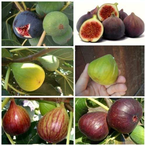 Higuera - 3 Variedades 25 + 25 + 25 semillas de alta calidad - sabor increíble - hay que probarlo!