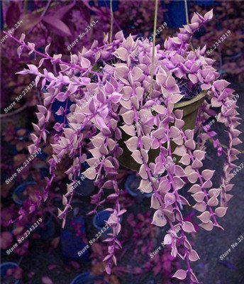 Plantes grimpantes des semences rares Parthenocissus tricuspidata semences jardin plantes ornementales Four Seasons Flower 60 Pcs / sac 17