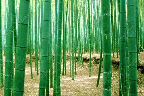 50 pcs \ sac pot hybride, graines rares de bambou, l'air pur, maison décoration rose, couleurs rouge, jaune, vert, des plantes en pot bonsaï Bourgogne