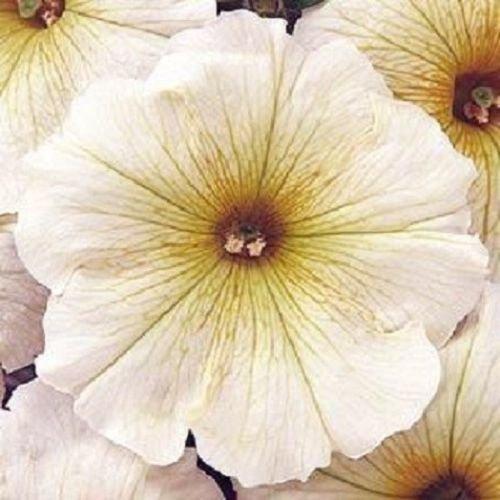 50 graines de Petunia Granulé Tapis Beurre Crème Graines de fleurs