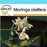 SAFLAX - Set regalo - Moringa - 10 semillas - Con caja regalo/envío, etiqueta para envío, tarjeta de felicitación y sustrato de cultivo y fertilizante - Moringa oleifera