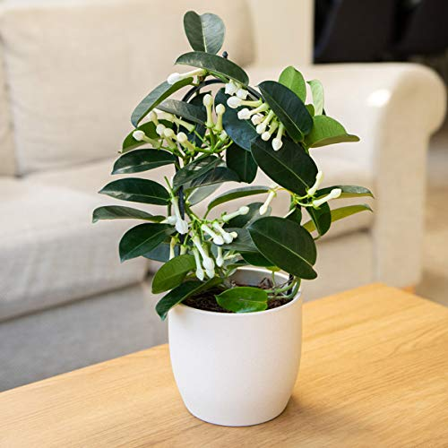 Plant Theory Stephanotis Floribunda Bow Plant 40cm Indoor House Plant 12cm Pot (No Ceramic Pot)