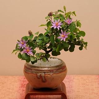 小品盆栽:睡蓮木(信楽焼鉢)*