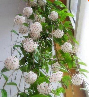 100pcs / sac Vente Hot arc Hoya Rare Graines Outdoor Blooming Bonsai fleurs des plantes en pot Livraison gratuite pour Maison et jardin 14