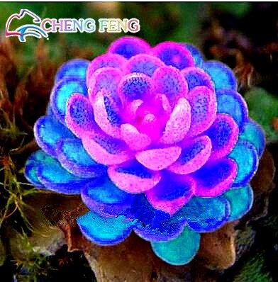 100pcs rares Graines Mix couleur Lithops Succulentes Raw Pierre Cactus Seeds Pour Salon / Bureau en pot Fleurs Charnu Free Ship