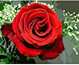 """Paint by Numbers""""Red Rose""""DIY Adult Paint by Number Kits for Beginners Unique Gift Handmade Canvas Digital Oil Painting 16x20 Inch (Frameless)"""
