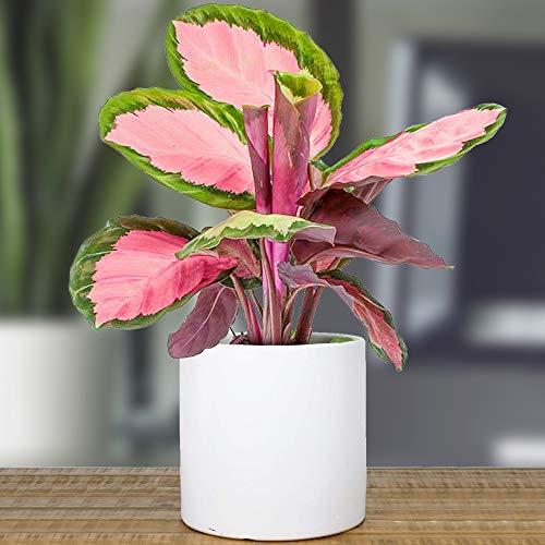 1 x Calathea roseopicta Rosy 30-40 cm Zimmerpflanze im Topf fürs Zuhause