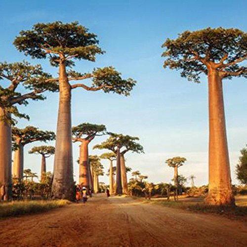 wuwxiuzhzhuo 100AFRIKANISCHER Affenbrotbaum Baobab Tree Seeds, Exotic Outdoor Pflanze Hohe Keimung 1