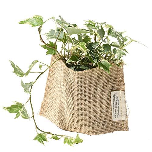 観葉植物「アイビー」