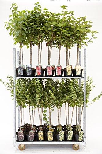 Rote, weiße oder Schwarze Johannisbeere Beerenobst Gartenpflanze Ribes rumbrum auf Stamm veredelt (Titania - Schwarz - 90cm)
