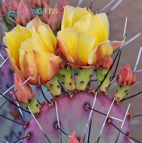 30pcs New Arriva / Paquet bureau de bureau Succulentes Graines anti-radiation graines de cactus importées hybrides graines de bonsaï plantes à fleurs ***