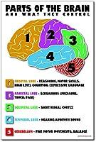 パーツのThe Brain–新しい教室Science Biology Anatomyポスター