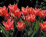 RJDHNGAK Cuadro Pintar con numeros Flor De TulipáN Rojo por Números Kits con 3 Pinceles y Acrílica Pinturas Pintar Lienzo con numeros para Adultos para Decoración Hogar 40x50cm