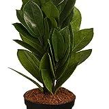 Zamioculcas, 9cm Topf, 20-30 cm, 1 Pflanze