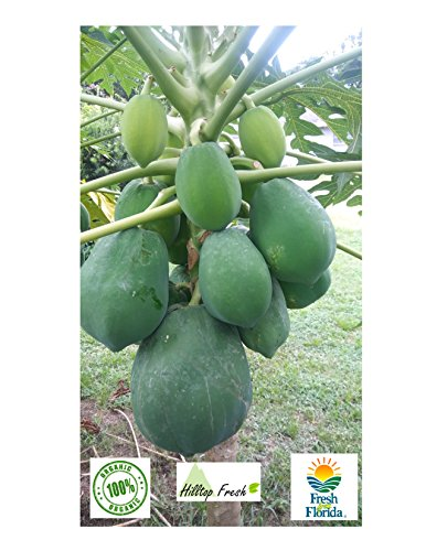 Fresh green papaya (two) - 6 to 8 lbs - Organic with No preservatives, No Insecticides, No Pesticides - Certified fresh from Florida - Picked fresh & Shipped - FAST SHIPPING