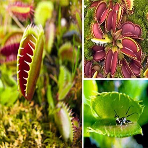lamta1k 40Pcs muscipula Samen Venusfliegenfalle Fleisch fressende Pflanze Tabelle Bonsai-Dekor - muscipula Seeds