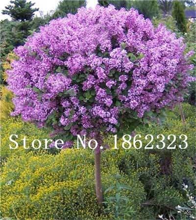 RETS 100 PC/Beutel Bonsai Lilac Bonsai Japanese Lilac (Extremely Fragrant) Nelke Blume Bonsai Flieder Bäume Außenanlage für Hausgarten: 3