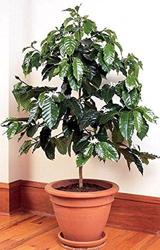 Arbuste Graines de café Arbuste de l'Arabie (Coffea arabica) Chambre plantes vivaces