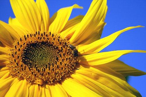 Sonnenblumenkerne gestreift 25kg X 1 Stk./Einheiten