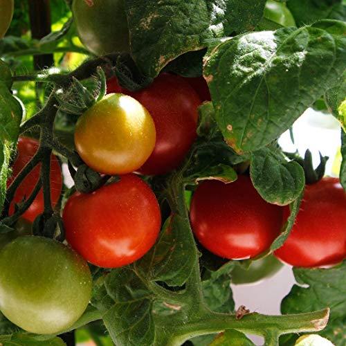 Rotkäppchen Tomatensamen für ca. 20 Pflanzen – alte, deutsche Buschtomate