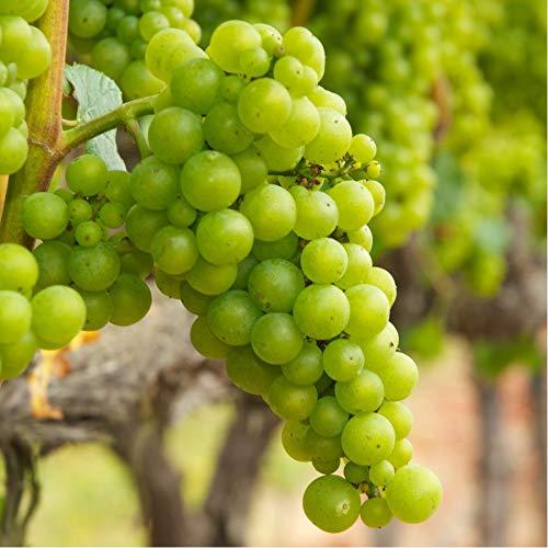 Plantsguru Grape, Angoor (seedless, hybrid) Plant
