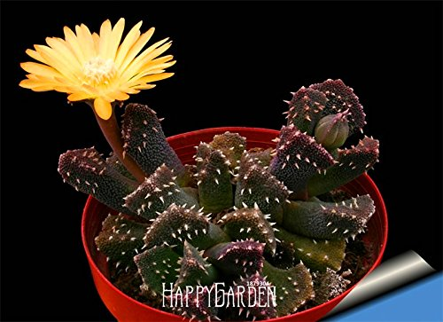 Nouveaux 10 pcs / paquet boule graines de cactus rares graines de plantes succulentes Arrivée! Bonsai Celestial Fleur planteurs de pot Flores, # AXBAND