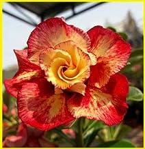 3Pcs - Real Adenium Obesum Semillas - Seeds Desert Rose Flower Seeds Sementes : 16