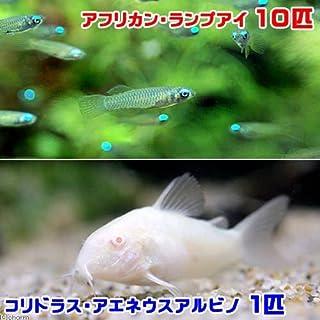 charm(チャーム) (熱帯魚)アフリカン・ランプアイ(10匹) + コリドラス・アエネウス アルビノ(1匹) 【生体】