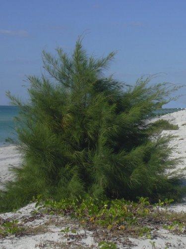 Seedeo Känguruhbaum/Australische Kiefer (Casuarina equisitifolia) 100 Samen