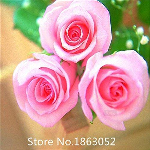 Gartenpflanze Förderung! Erbstück & # 39; Lady Banks & # 39; Gelb Kletterrose Blumensamen, 100 Samen/Pack, Altertümlich Strong Fragr
