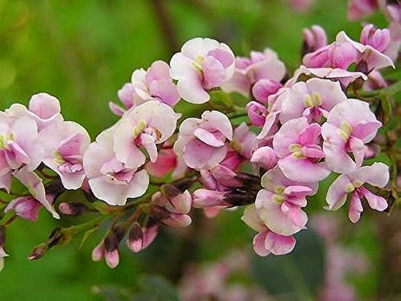 Hardenbergia Violacea Rosea - Happy Wanderer Rare Tropical Plant Vine Seeds (10)