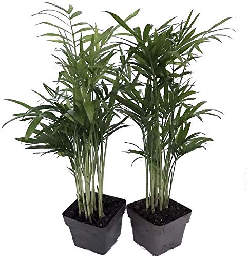 Hirt's Gardens Victorian Parlor Palm -Chamaedorea Neanthe Bella-2 Pack 2.5