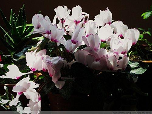 Hot Sale 16 couleurs peuvent être Choisissez Graines Cyclamen fleurs Plantes vivaces à fleurs Cyclamen semences - 100 PCS