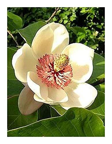 Magnolia pterocarpa - Magnolia sauvage - 10 graines